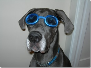 Chaucer in Doggles Pet Hair